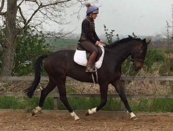 STUNNING GELDING WITH TOP CLASS BLOODLINES!