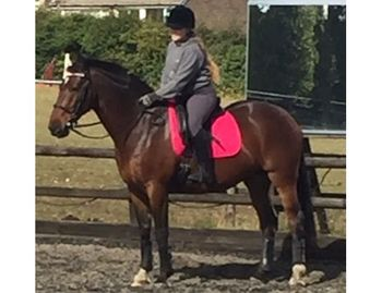 IRISH SPORTS HORSE WITH CLOVER HILL AND CAVALIER ROYAL PEDIGREE