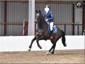 RELUCTANT SALE OF WEEL-BRED KWPN MARE