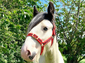 Lightweight - For Adoption - Gelding - 12 hh - South East Yorkshire