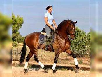 4 year-old - P.R.E. - Stallion - 16.1 hh - Spain