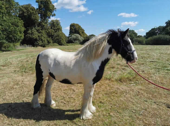 Middleweight - For Adoption - Mare - 14.2 hh