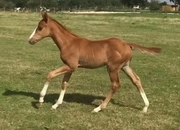 All Rounder - Foal - 15.2 hh - Norfolk