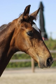Young Stock and Foals - Stallion - Belgium
