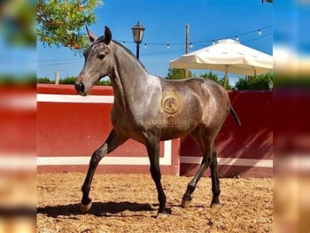 SIRA: SUPER SWEET PRE FILLY