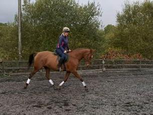 10 year-old - All Rounder - Mare - 15.2 hh - Powys