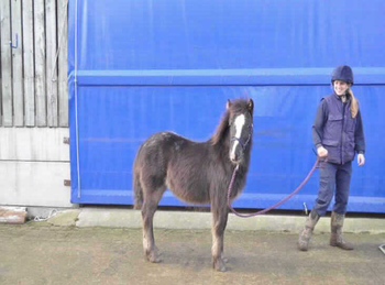 Pony - For Adoption - 12.2 hh