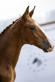 Potential Young Sports - Stallion - Belgium