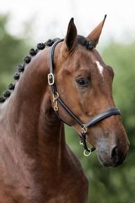 Dressage - Stallion - Belgium