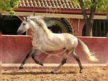 5 year-old - P.R.E. - Stallion - 1555 hh - Spain