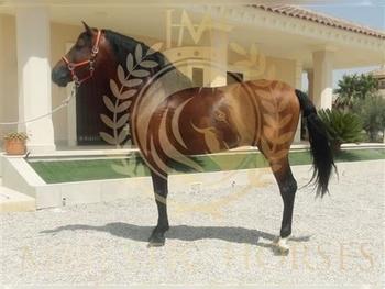 9 year-old - P.R.E. - Stallion - 16.1 hh
