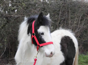 Lightweight - For Adoption - Colt - 13.2 hh - South East Yorkshire