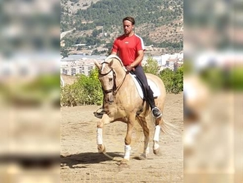 7 year-old - Lusitano - Gelding - 1604 hh - Spain