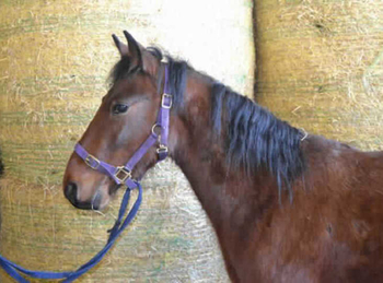 Standardbred - For Adoption - Gelding - 14.2 hh