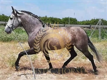 5 year-old - P.R.E. - Stallion - 16.2hh