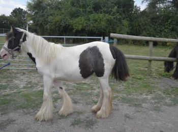 Middleweight - For Adoption - Filly - 13 hh