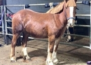 3 year-old - Cobs - Mare - 14 hh - Norfolk