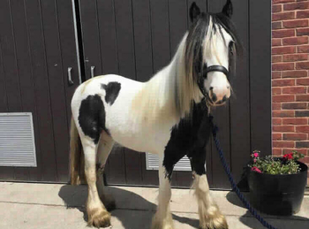 Middleweight - For Adoption - Mare - 12.1 hh