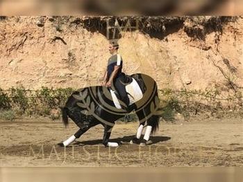 7 year-old - P.R.E. - Stallion - 167cm