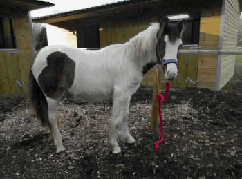 Lightweight - For Adoption - Filly - 13 hh - Kent