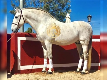 1 year-old - P.R.E. - Stallion - 1703 hh - Spain