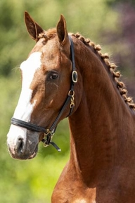 Dressage - Stallion - Belgium