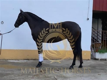 4 year-old - Andalusian - Stallion - 1545 hh - Spain