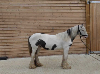 Middleweight - For Adoption - 12.1 hh