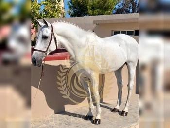 15 year-old -  Hispano Arabian - Schoolmaster Gelding - 16.1hh