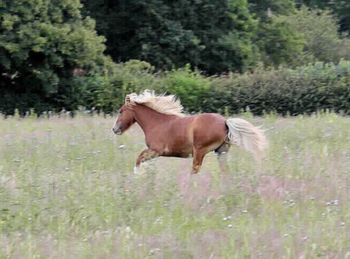 Middleweight - For Adoption - Mare - 12.2 hh