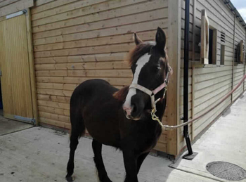 Connemara - For Adoption - Filly - 12 hh