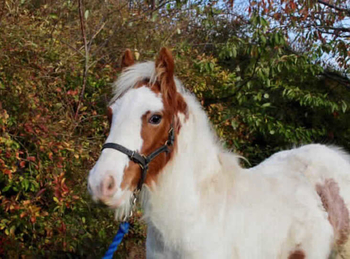 Lightweight - For Adoption - Gelding - 13 hh - South East Yorkshire