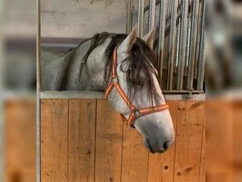4 year-old - P.R.E. - Stallion - 1575 hh - Spain
