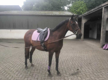Thoroughbred - For Adoption - Mare - 14.2 hh