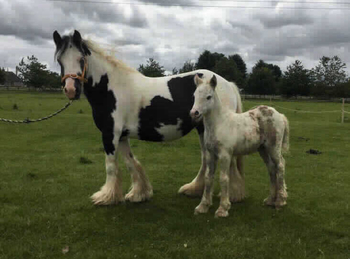 Lightweight - For Adoption - Filly - 13 hh - South East Yorkshire