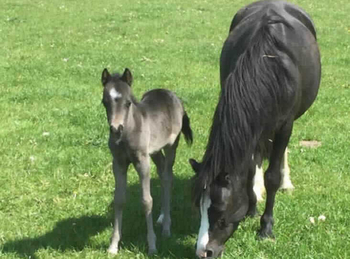 Welsh - For Adoption - Filly - 12 hh