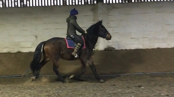 All Rounder - 16 hh - Norfolk