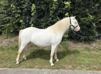 Welsh - For Adoption - Mare - 11 hh