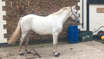 6 year-old - Irish Draught - All Rounder - Mare - 16.2 hh - Norfolk
