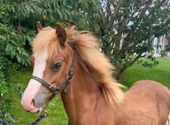 Welsh - For Adoption - 12 hh - South East Yorkshire