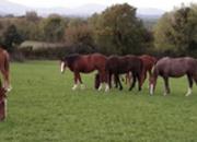 4 year-old - Irish Draught - All Rounder - Gelding - Powys
