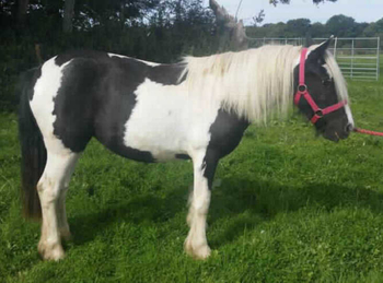 Middleweight - For Adoption - Mare - 13.2 hh