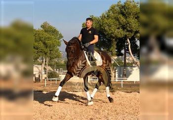 9 year-old - P.R.E. - Stallion - 1604 hh - Spain