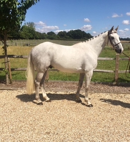 2 year-old - All Rounder - Gelding - Oxfordshire