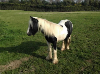 Middleweight - For Adoption - 12.3 hh