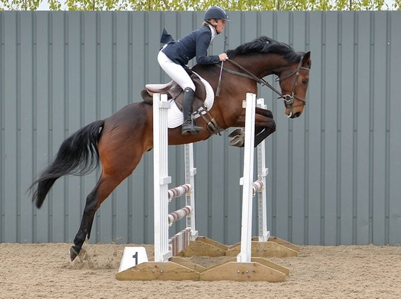 'MR DARCY' EXCEPTIONALLY TALENTED WARMBLOOD GELDING!