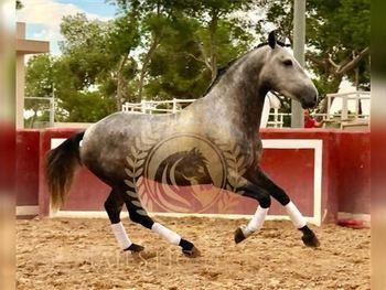 5 year-old - P.R.E. - Stallion - 1604 hh - Spain