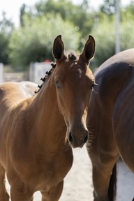 Young Stock and Foals - Mare - Belgium