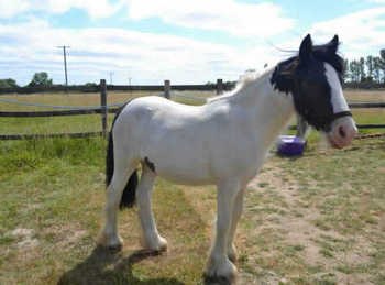 Middleweight - For Adoption - 13 hh - Essex
