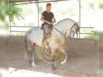 6 year-old - P.R.E. - Stallion - 1644 hh - Spain